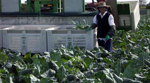 Harvesting Broccoli - Gazzola Farms