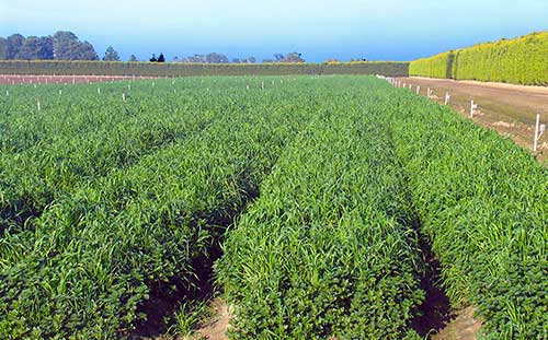 Rye-Corn Cover crop