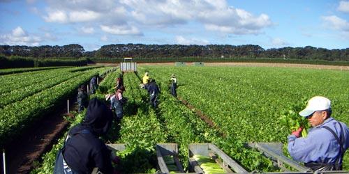 Harvesting Celery - Gazzola Farms