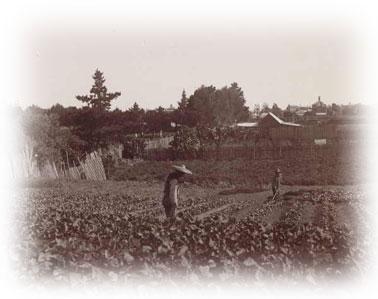 Chinese market gardeners