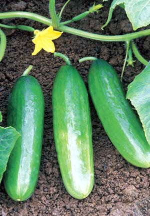VG00069 Integrated management of greenhouse cucumber and capsicum diseases - 2004