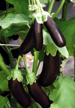 VG00026 Development and implementation of integrated pest management systems in Eggplant and Capsicum - 2004