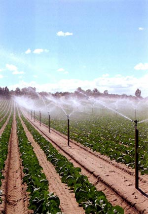 Irrigated vegetable crop