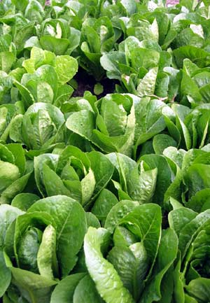 VG98048 Adapting to Change: Enhancing Skills through collaboratively developing and integrated pest management strategy for lettuce - 2002
