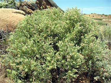Rhagodia parabolica, the fragrant saltbush