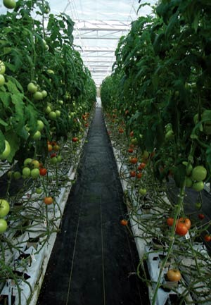 VG02020 Assessment of Tomato and Capsicum Cultivars and Production Techniques for Export to Japan and Taiwan and Demonstration of IPM for Botrytis cinerea for local and export crops - 2001