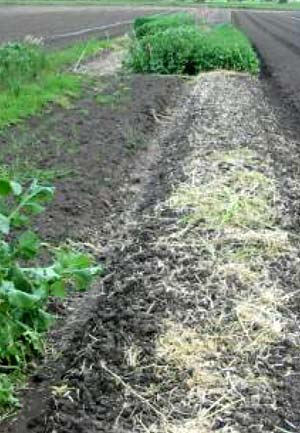THE USE OF BRASSICA GREEN MANURE CROPS FOR SOIL IMPROVEMENT AND SOILBORNE DISEASE MANAGEMENT -2004