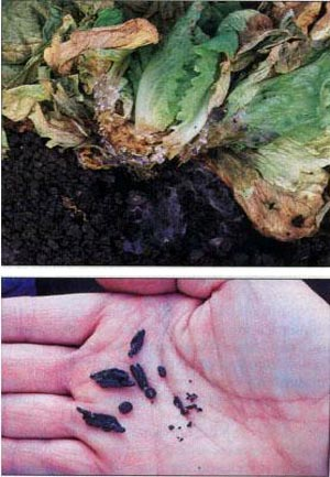 VG04059 Developing on-farm diagnostic kits for brassica diseases - 2007