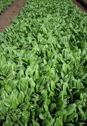 VG05068 Optimising crop management and postharvest handling for baby leaf salad vegetables - 2008