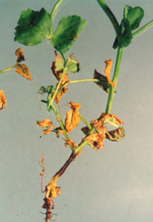 Ascochyta collar rot on peas and its control - 2000