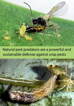 Parasitic Wasps & Syrphid larvae