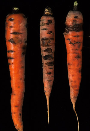 VG98011 Integrated management of Pythium diseases of carrots - 2001