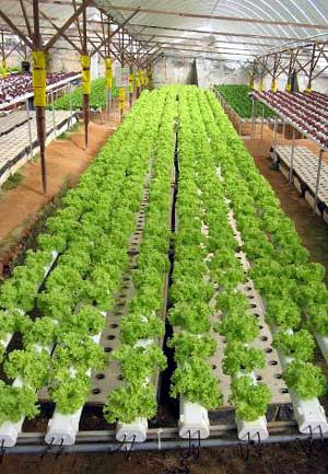 VG04012 Effective management of root diseases in hydroponic lettuce - 2008